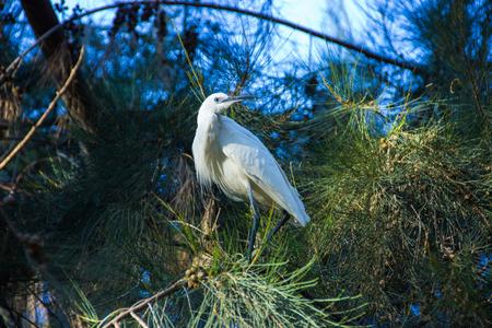 bird of israel: white egret sitting on the tree