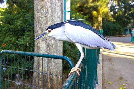 bird of israel: black crowned night heron sitting on the fence