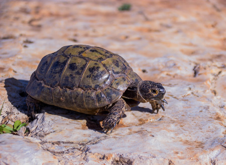earthen: earthen turtle crawling in the early morning on a stone surface Stock Photo