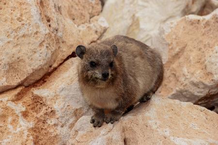 hanikra: mountain rabbit sitting on a rock in Rosh Hanikra, Israel