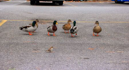 freely: Ducks walk freely in the city by the car park. Sirmione, Italy