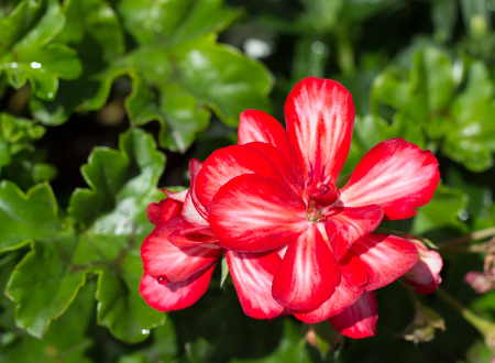 paucity: a few flowers blooming red geraniums  on the background of green leaves