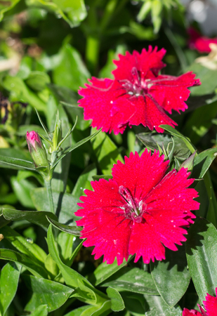 incarnadine: Some blooming Turkish red carnations  on the background of green leaves Stock Photo