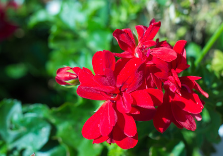 vealy: a few flowers blooming red geraniums  on the background of green leaves
