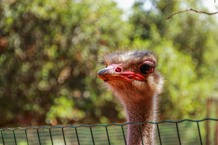 bird of israel: ostrich looks out from his cage at the zoo, Monkey Forest in the village Yudfat, Israel