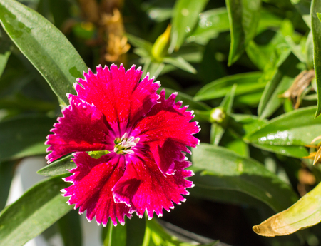effloresce: Some blooming Turkish red carnations  on the background of green leaves Stock Photo