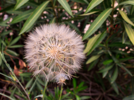 blanch: The head of a flowering dandelion on a background of green leaves