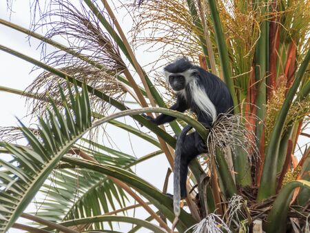 smutty: Angolan black and white colobus sitting on a branch on a palm tree