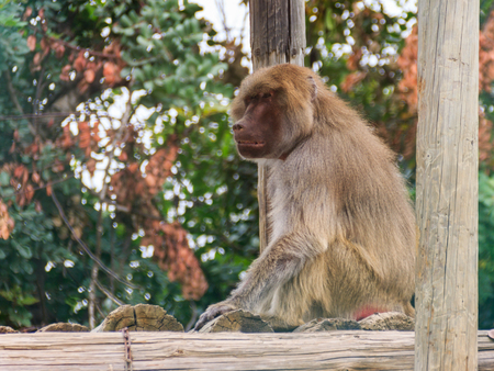 copycat: baboon sitting on logs and looks into the distance