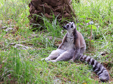 spacing: Lemur catta sitting in the grass and loocking to distance