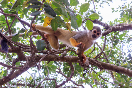 ramification: Squirrel monkey Saimiri on a tree branch in a nature reserve