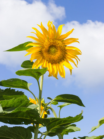 tends: tall sunflower on the field tends to the sun