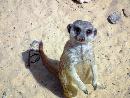 dais: meerkat standing on sand and poses for photographer