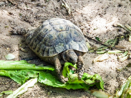 earthen turtle eating green leaves on the sand Stock Photo