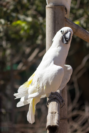 cocky: White parrot sitting on a bamboo column Stock Photo