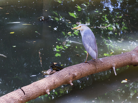 water turtle: Nycticorax nycticorax and water turtle in the pond Stock Photo