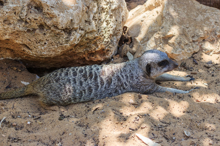 eminence: Meerkats relaxing afternoon on the sand under the sun