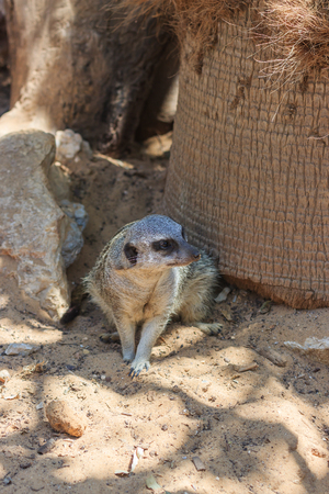 exaltation: Meerkats sitting afternoon on the sand under the sun Stock Photo