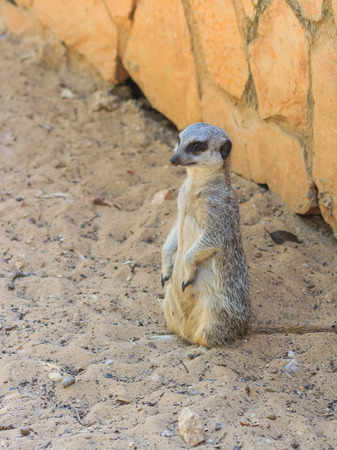 knoll: meerkat standing afternoon on the sand under the sun