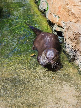 aonyx: Amblonyx sinereus basking in the sun in shallow water.
