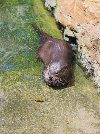 basking: Amblonyx sinereus basking in the sun in shallow water.