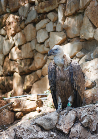 fulvus: Griffon Vulture - Gyps fulvus - is sitting on a rock and looking out for prey