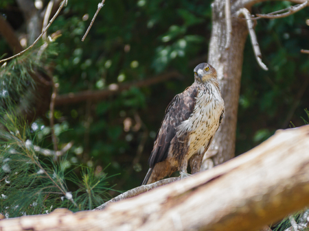Long-Legged Buzzard - Buteo rufinus - is sitting on a tree and looking out for prey Stock Photo
