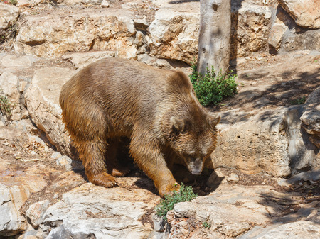 syrian: Syrian bear - Ursus arctossyriacus - walking around and looking for food