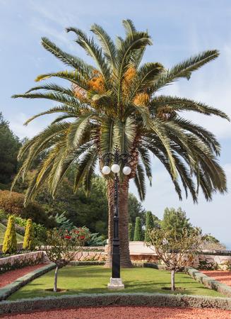 Date palm in Bahai Garden in Haifa, Israel