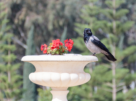 natural moody: Raven sitting on a flowerpot with geraniums in the city park Stock Photo