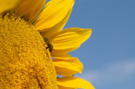 Sunflower with bee closeup against blue sky photo