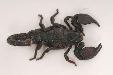 Black scorpion closeup on white background