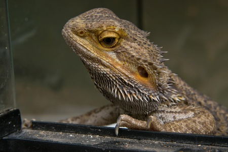 inland: Closeup of a head of central  or Inland  Bearded Dragons  Pogona vitticeps