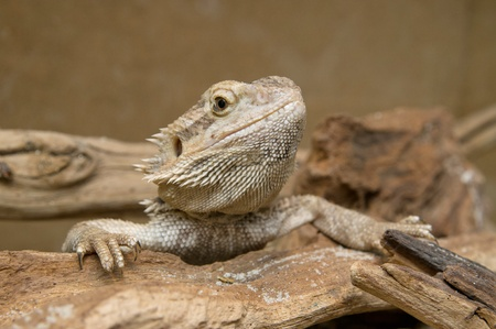 inland: Central  or Inland  Bearded Dragons  Pogona vitticeps  in terrarium