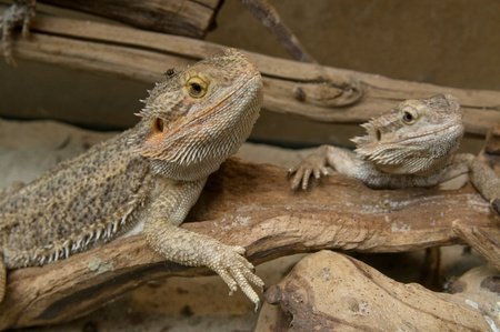 terrarium: Family of central (or Inland) Bearded Dragons (Pogona vitticeps) in terrarium