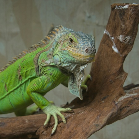 Common green iguana in terrarium