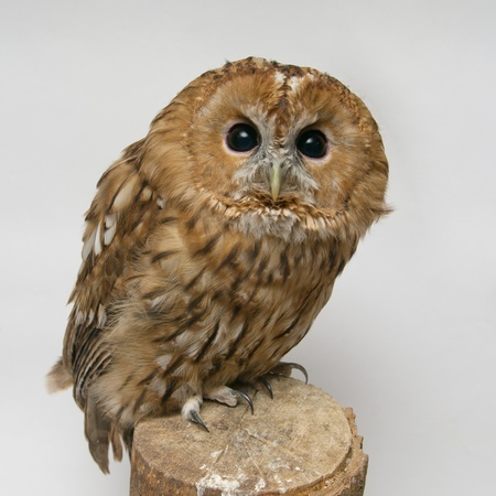 Brown Owl (Strix aluco) on wooden piece against white background