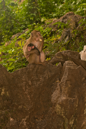 Mother monkey and baby monkey are sitting on the rock in jungles and eating banana