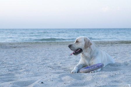 Male dog labrador retriever is lying on the beach with puller toy