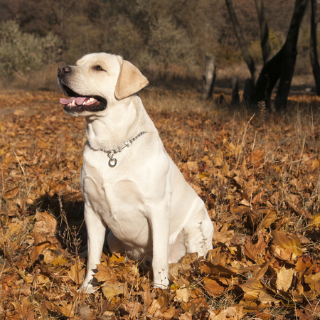 Male labrador retriever is sitting in the autumn leaves Stock Photo