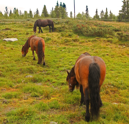 Three horses grazing in the norwegian mountains photo