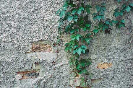 Old weathered stucco wall with hanging decorative woody vines of Parthenocissus inserta (Woodbine, thicket creeper, false Virginia creeper) in summer