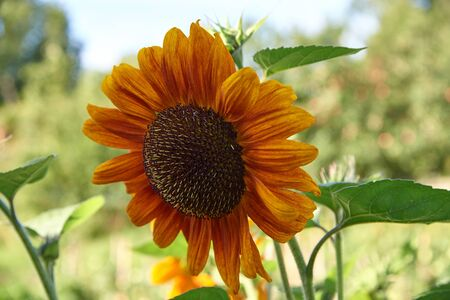 dacha: The blossoming sunflower at dacha in a sunny day in the summer
