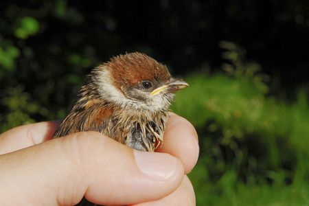 largely: baby bird of a sparrow in a hand largely