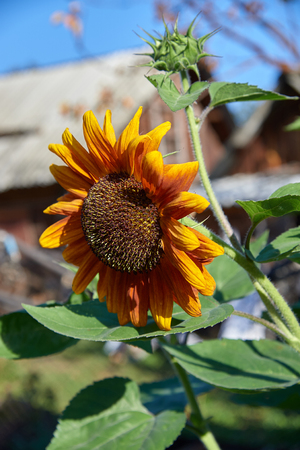 dacha: The blossoming sunflower at dacha in a sunny day Stock Photo