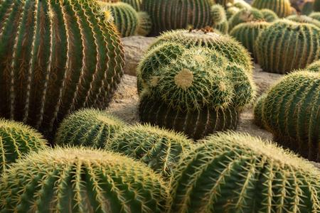 Many cacti grow on the sand Stock Photo