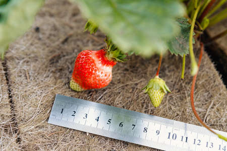 A large ripening strawberry on a bush and a special ground cover with a ruler alongside that displays the size in centimeters.