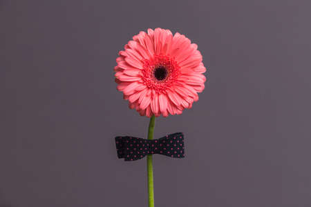 pink gerbera flower with a bow tie on the stem Imagens
