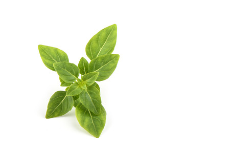 Fresh green basil leaves isolated on white background. Copy space 写真素材 - 122433319
