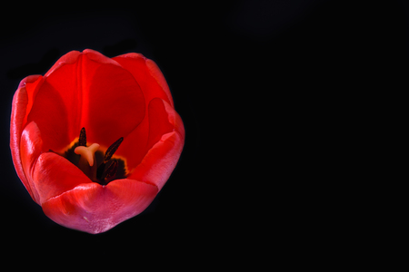 Macro shot. Red tulip bud on a black background. Copy space Imagens